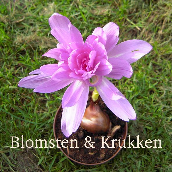 Nøgen Jomfru, køb blomsterløg online hos Blomsten & Krukken