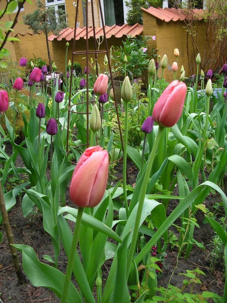 Når haven bugner af tulipaner, så er det forår